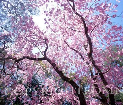 Cherry Blossom Tree Top & Sky #2, Kyoto, Japan 05 - Color