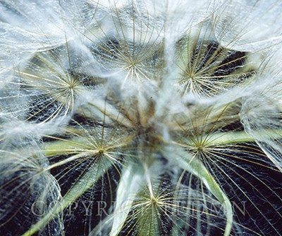 Dandelion Puff, Ann Arbor, Michigan 1980-color