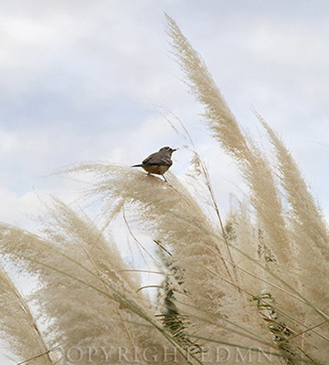 Bird & Grasses, Scottsdale, Arizona 14-color