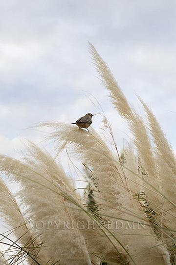 Bird & Grasses, Scottsdale, Arizona 14-color