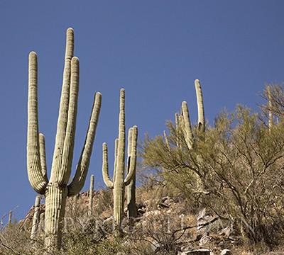 Saquaro on the Hill, Tucson, Airizona 14-color