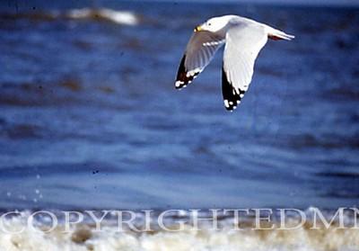 Flying Seagull, Texas