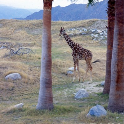 Giraffe #2, Califonia 05