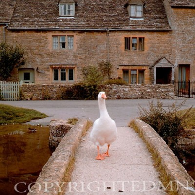 Goose, Cotswold, England