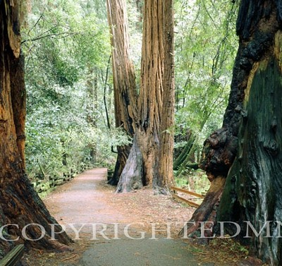 Pathway To Muir Woods, California