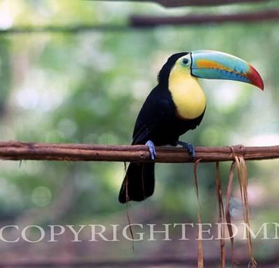 Toucan #2, Costa Rica 04