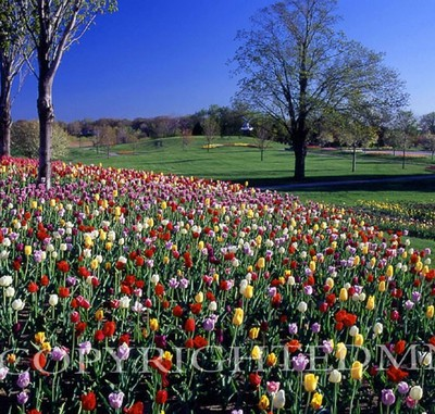 Tulips In The Landscape, Holland, Michigan