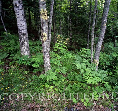 Bond Falls Woods, Bruce Crossing, Michigan - Color