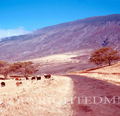 Cattle, Hawaii - Color