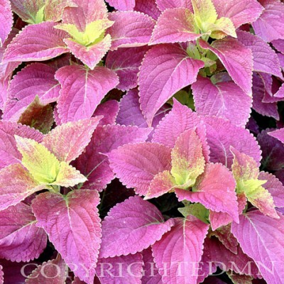 Coleus, Michigan - Color