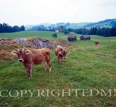Cows, Buhler, Switzerland - Color