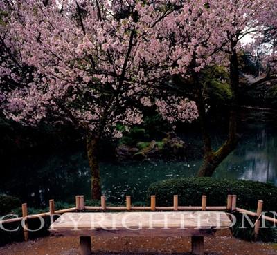 Cherry Blossom Tree & Bench, Kanazawa, Japan 05