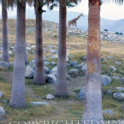 Giraffe #1, Califonia 05 - Color