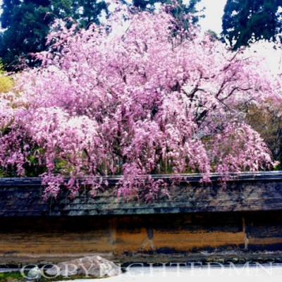 Cherry Blossom Tree & Canal, Kyoto, Japan 05