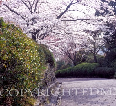 Cherry Blossom Tree & Hedge, Kyoto, Japan 05