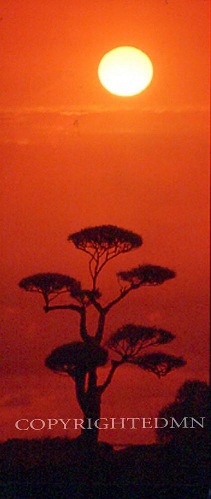 Hawaiian Tree & Sunrise, Hawaii - Color