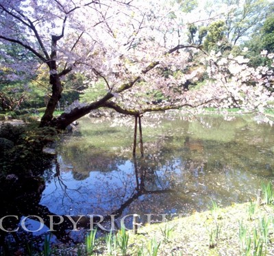 Cherry Blossom Tree & Pond #1, Kyoto, Japan 05