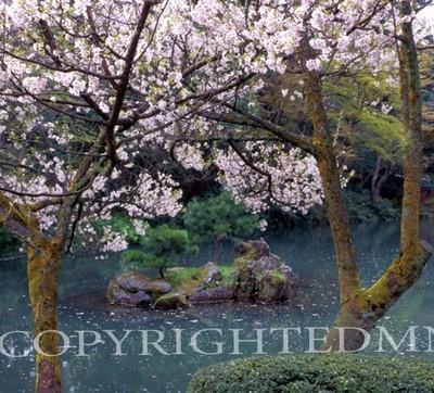 Cherry Blossom Tree & Pond #2, Kanazawa, Japan 05