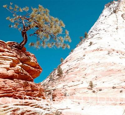 Lone Juniper Tree #2, Escalante, Utah - Color