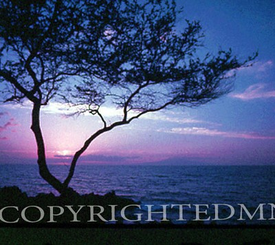 Lone Tree In Pink & Blue, Hawaii - Color