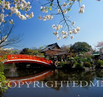Cherry Blossoms & Bridge #2, Kyoto, Japan 05