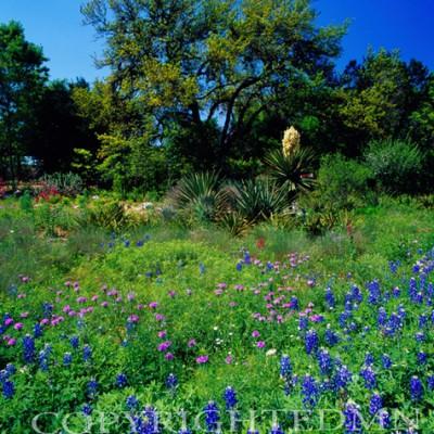 Bluebonnet Field #3, Austin, Texas 07 - Color
