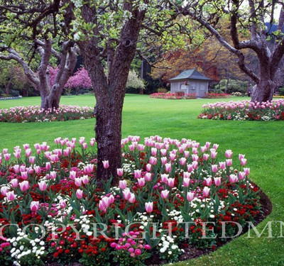 Butchart Gardens Tulip Beds, Vancouver, BC 07 - Color