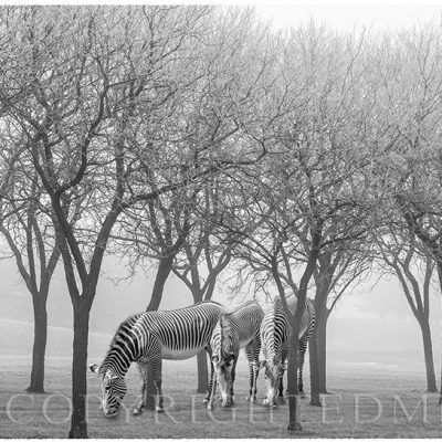 Zebras Among the Trees, Detroit, Mi. '18