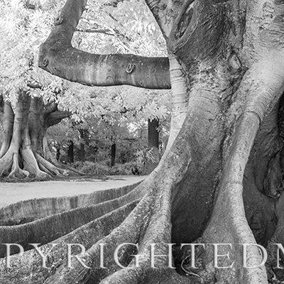 Fig Tree, California,'19, IR