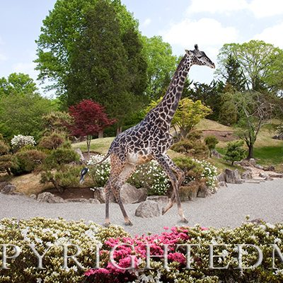 Giraffe in the Garden