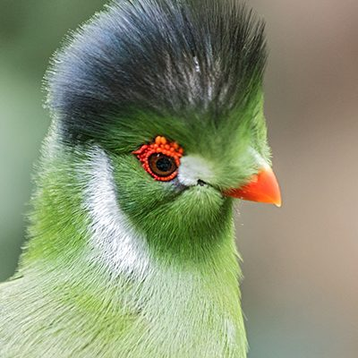 Crowned Pidgeon, Niagra Falls, Ont, '19