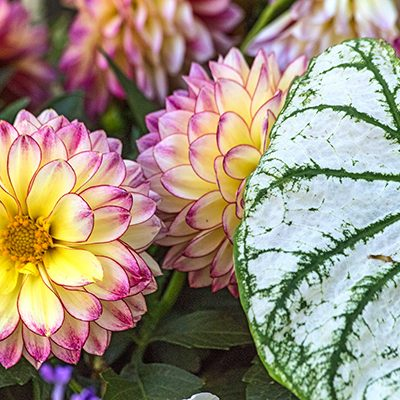 Dahlias and Varigated Leaf, Niagra Falls, Ont, '19